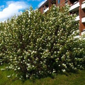 Bærsøtmispel fk Alvdal E – AMEALNALV