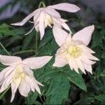 Hybridklematis 'Albina Plena' E – CLEALBPLE