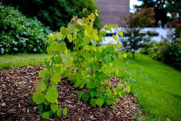 Disanthus cercidifolius HJERTEGLØD® E ('Eplhje') – DISCERHJE-3