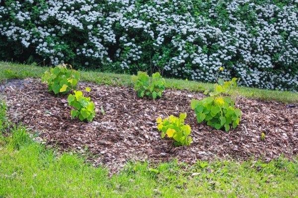 Disanthus cercidifolius HJERTEGLØD® E ('Eplhje') – DISCERHJE-5