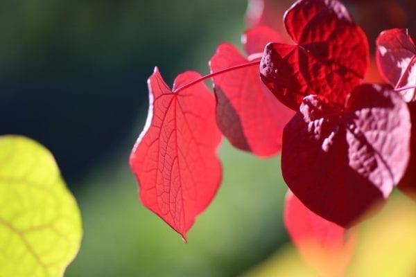 Disanthus cercidifolius HJERTEGLØD® E ('Eplhje') – DISCERHJE