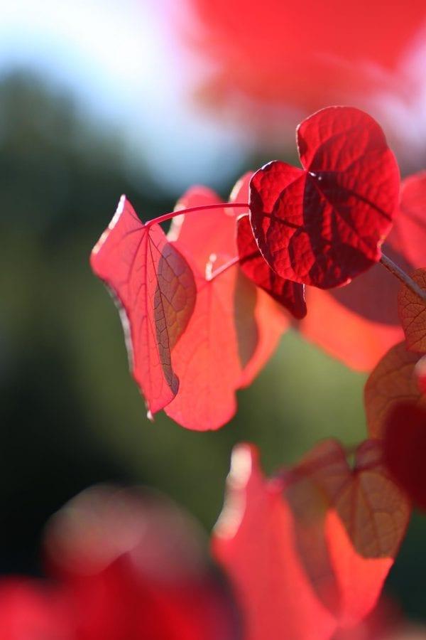 Disanthus cercidifolius HJERTEGLØD® E ('Eplhje') – DISCERHJE-8