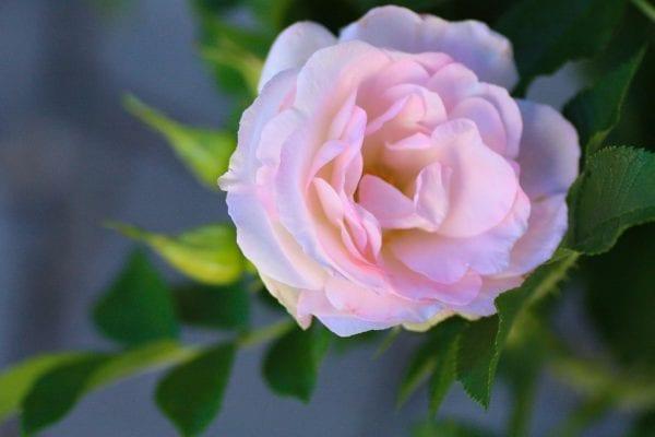 Rose 'Ritausma' E – ROSRIT-1