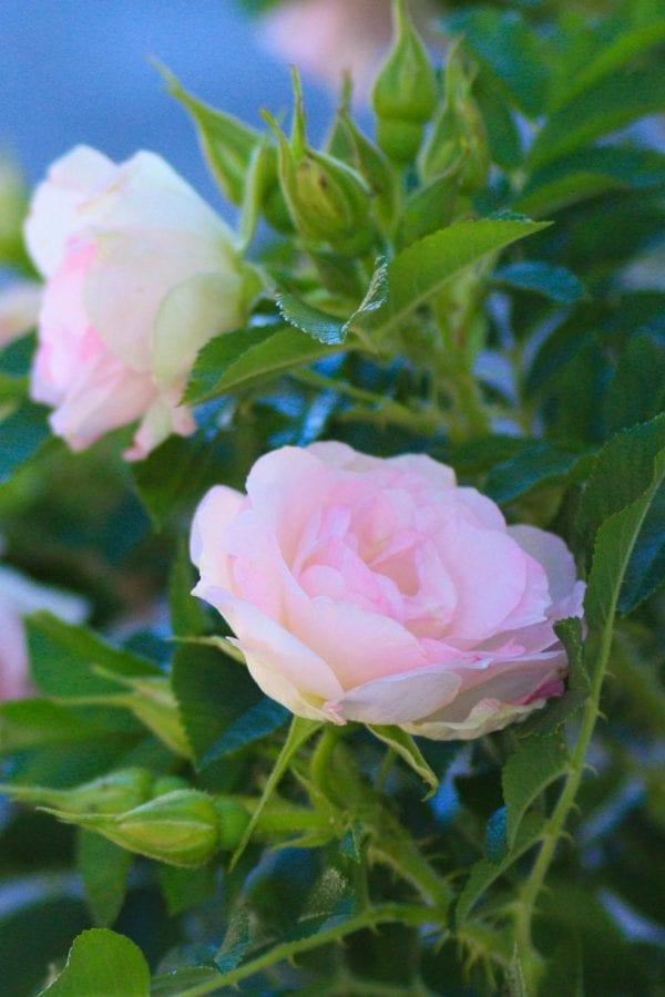Rose 'Ritausma' E – ROSRIT-2