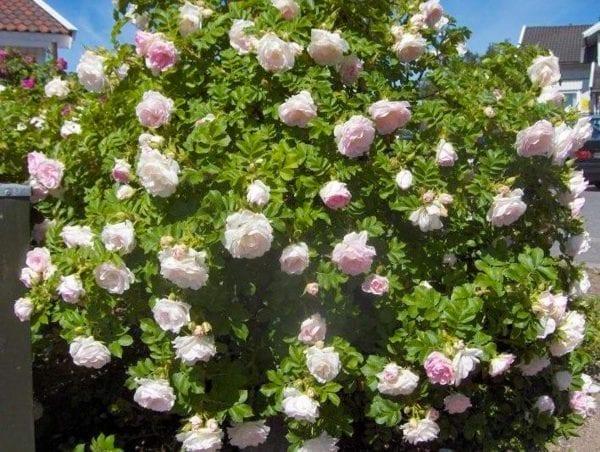 Rose 'Ritausma' E – ROSRIT-3