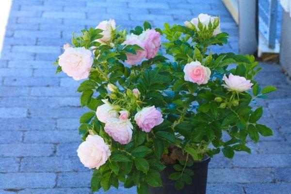Rose 'Ritausma' E – ROSRIT-4