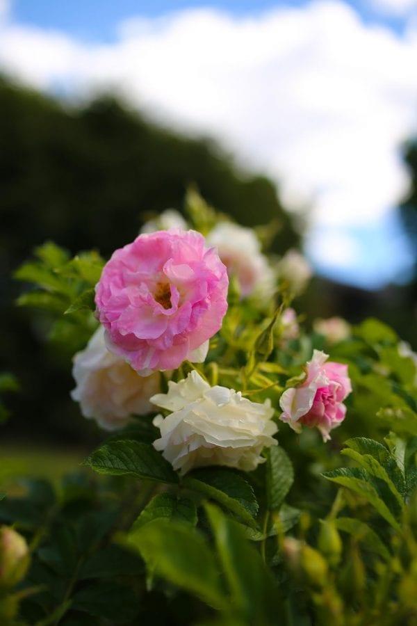 Rose 'Ritausma' E – ROSRIT-5