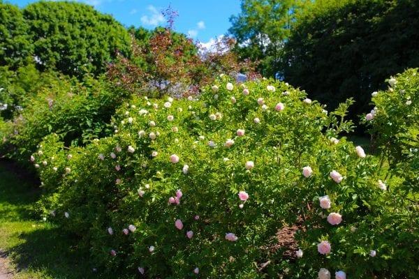 Rose 'Ritausma' E – ROSRIT-6