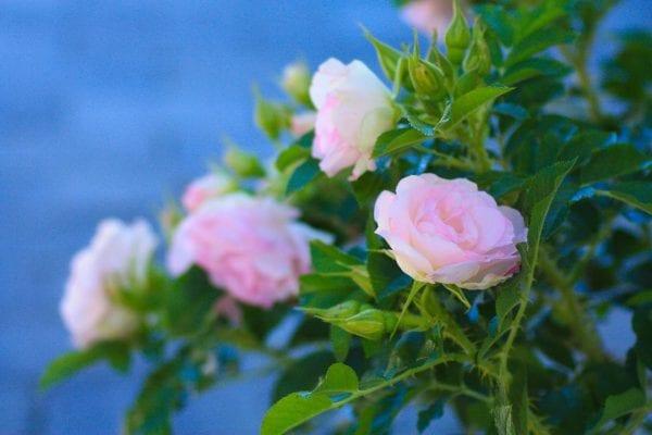 Rose 'Ritausma' E – ROSRIT