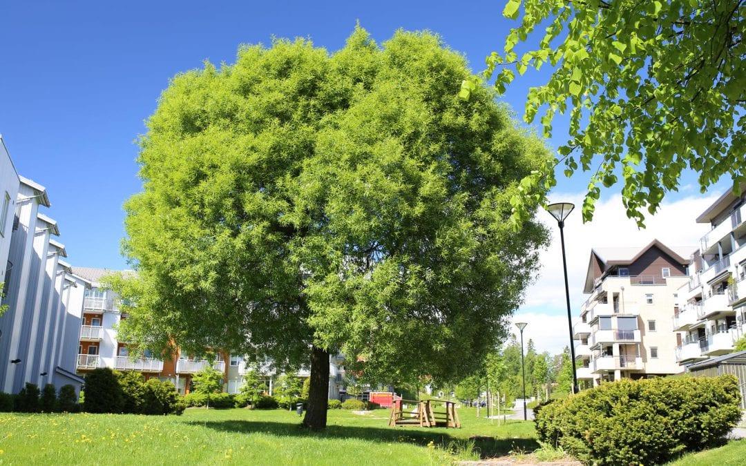 Ny Eplante: Salix euxina 'Bullata' TRYGVE®E