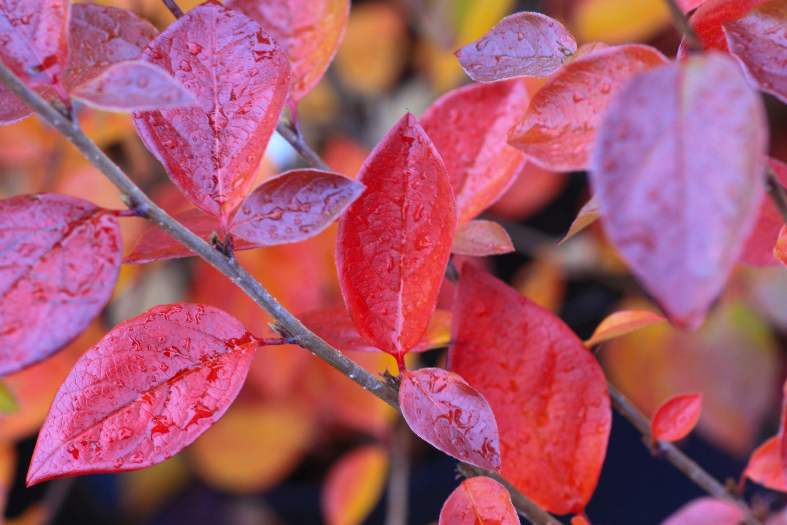 Kan Nobelprisvinnende teknologi (CRISPR) benyttes for å utvikle hageplanter med lavere spredningspotensial?