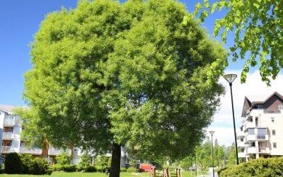 Fagbladet Utemiljø med fin artikkel om Salix euxina TRYGVE®E ('Bullata')